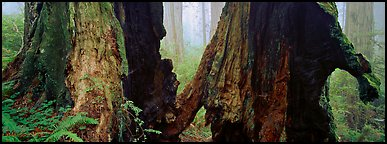 Hollow ancient tree in the fog. Redwood National Park (Panoramic color)