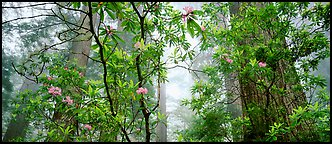 Airy forest scene with rhododendrons. Redwood National Park (Panoramic color)
