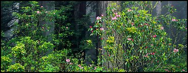 Redwood forest with rhododendrons. Redwood National Park (Panoramic color)