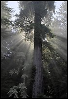 Redwood tree and sun rays in fog, Del Norte Redwoods State Park. Redwood National Park ( color)