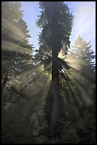 Sunrays in fog behind tall redwood, Del Norte Redwoods State Park. Redwood National Park ( color)