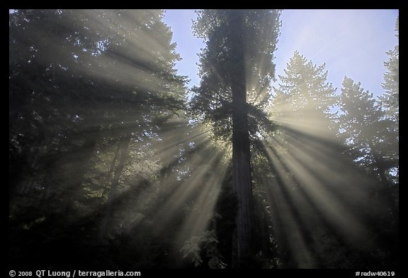 God's rays in redwood forest, Del Norte Redwoods State Park. Redwood National Park, California, USA.