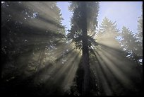 God's rays in redwood forest, Del Norte Redwoods State Park. Redwood National Park ( color)