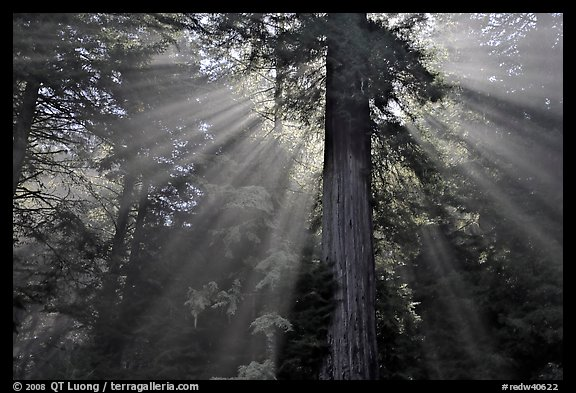 Sun rays diffused by fog in redwood forest, Del Norte Redwoods State Park. Redwood National Park (color)