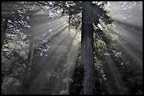 Sun rays diffused by fog in redwood forest, Del Norte Redwoods State Park. Redwood National Park ( color)