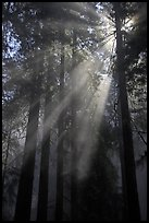 Redwood forest and sun rays. Redwood National Park, California, USA. (color)