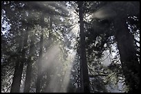 Tall redwood trees and backlit sun rays, Del Norte Redwoods State Park. Redwood National Park ( color)
