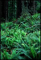 Dense pacific sword ferns and redwoods, Prairie Creek Redwoods State Park. Redwood National Park ( color)