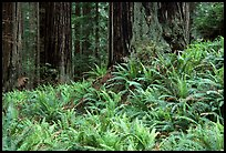Pacific sword ferns in redwood forest, Prairie Creek Redwoods State Park. Redwood National Park ( color)