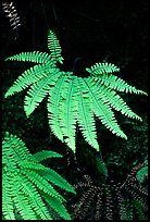 Ferns, Fern Canyon, Prairie Creek Redwoods State Park. Redwood National Park ( color)