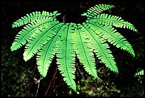 Single fern, Fern Canyon, Prairie Creek Redwoods State Park. Redwood National Park ( color)