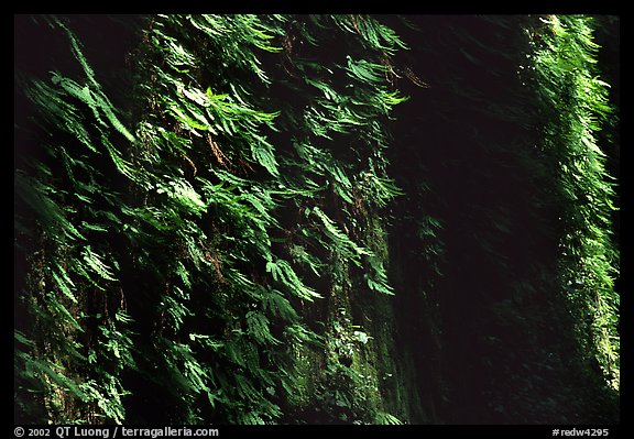 Vertical wall entirely covered with ferns, Fern Canyon, Prairie Creek Redwoods State Park. Redwood National Park (color)