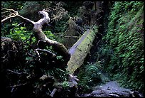 Fallen tree across Fern Canyon, Prairie Creek Redwoods State Park. Redwood National Park ( color)