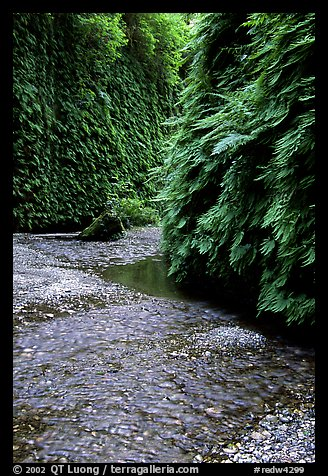 Stream and walls covered with ferns, Fern Canyon, Prairie Creek Redwoods State Park. Redwood National Park (color)