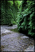 Stream and walls covered with ferns, Fern Canyon. Redwood National Park, California, USA. (color)