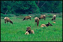 Herd of Roosevelt Elk in meadow, Prairie Creek Redwoods State Park. Redwood National Park ( color)