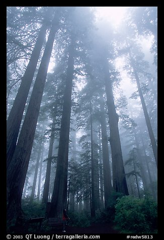 Visitor dwarfed by Giant Redwood trees. Redwood National Park (color)