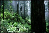 Ferns and redwoods in mist, Del Norte Redwoods State Park. Redwood National Park ( color)