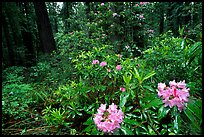 Rododendrons in bloom in a redwood grove, Del Norte Redwoods State Park. Redwood National Park ( color)