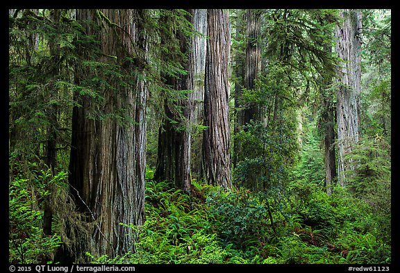 Lush lowland redwood forest, Jedediah Smith Redwoods State Park. Redwood National Park (color)