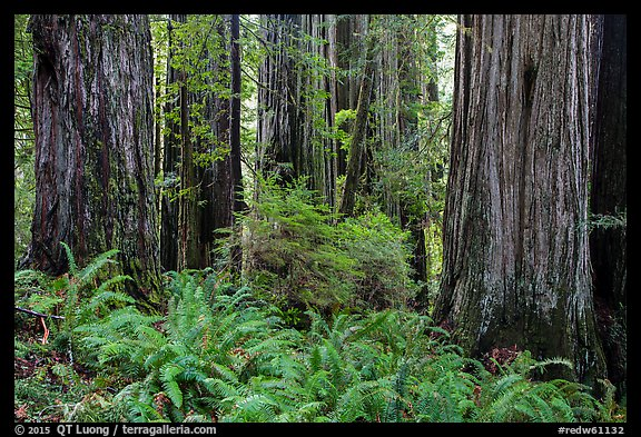Ferns and trunks of giant redwood trees, Jedediah Smith Redwoods State Park. Redwood National Park (color)