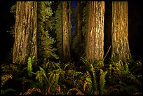 Ancient redwoods lighted at night, Jedediah Smith Redwoods State Park. Redwood National Park ( color)