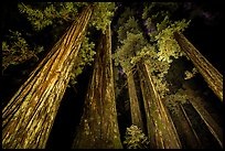 Towering redwoods at night, Jedediah Smith Redwoods State Park. Redwood National Park ( color)