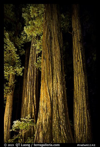 Redwood tree trunks lighted at night, Jedediah Smith Redwoods State Park. Redwood National Park (color)