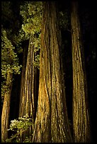 Redwood tree trunks lighted at night, Jedediah Smith Redwoods State Park. Redwood National Park ( color)