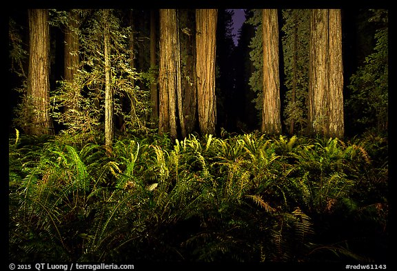 Ferns and redwoods at night, Jedediah Smith Redwoods State Park. Redwood National Park (color)