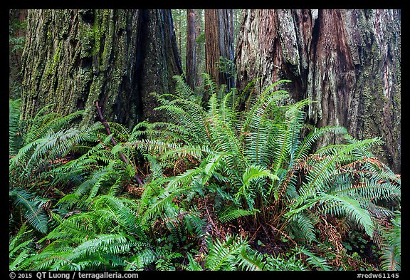 Ferns and textured trunks of giant redwoods, Stout Grove, Jedediah Smith Redwoods State Park. Redwood National Park (color)
