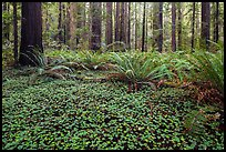 Clovers, ferns, and redwoods, Stout Grove, Jedediah Smith Redwoods State Park. Redwood National Park ( color)