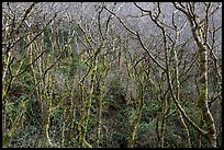 Moss-covered alder trees. Redwood National Park ( color)