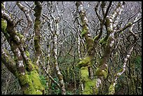 Mossy alder trees. Redwood National Park ( color)