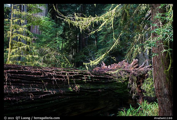 Fallen redwood in luxuriant forest, Simpson-Reed Grove, Jedediah Smith Redwoods State Park. Redwood National Park (color)