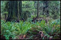Jungle-like redwood forest, Simpson-Reed Grove, Jedediah Smith Redwoods State Park. Redwood National Park ( color)