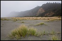 Dune grass, bluff in fog, Gold Bluffs Beach, Prairie Creek Redwoods State Park. Redwood National Park ( color)