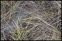 Close-up of tall grass, Gold Bluffs Beach, Prairie Creek Redwoods State Park. Redwood National Park ( color)