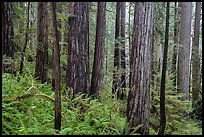 Large redwoods on hillside, Prairie Creek Redwoods State Park. Redwood National Park ( color)