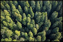 Aerial view of redwood forest canopy. Redwood National Park ( color)