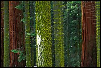 Mosaic of pines, sequoias, and mosses. Sequoia National Park, California, USA. (color)