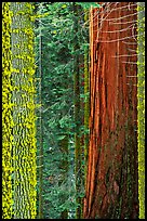 Mosaic of pines, sequoias, and mosses. Sequoia National Park ( color)