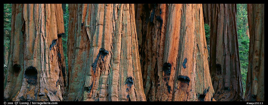 Giant sequoia trunks. Sequoia National Park (color)