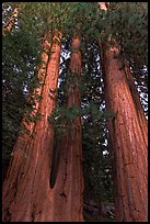 Cluster of giant sequoia trees. Sequoia National Park ( color)