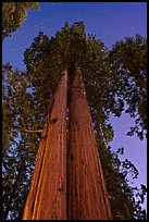 Sequoia trees at night under stary sky. Sequoia National Park ( color)