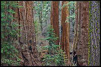 Red bark of Giant Sequoia contrast with green leaves. Sequoia National Park, California, USA.