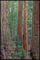 Sequoia forest. Sequoia National Park, California, USA.