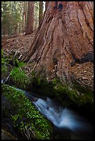 Brook at the base of giant sequoia tree. Sequoia National Park ( color)