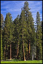 Sequoia trees at the edge of Round Meadow. Sequoia National Park ( color)