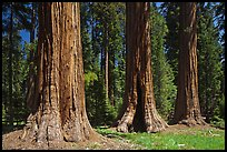 Group of Giant Sequoias, Round Meadow. Sequoia National Park, California, USA.